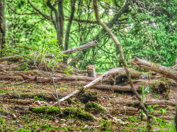 Smiley Fox Pup in the Woodland Den